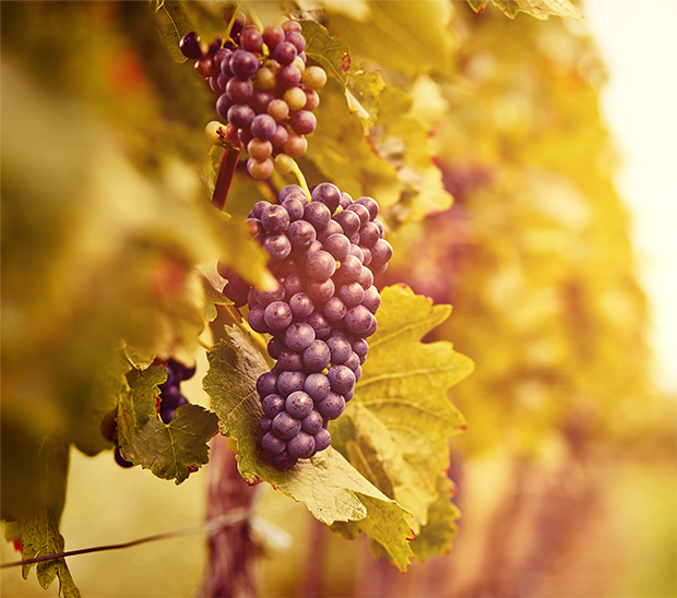 Image of a grapevine